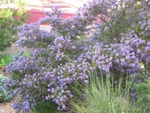Dark star ceanothus with purple blossoms
